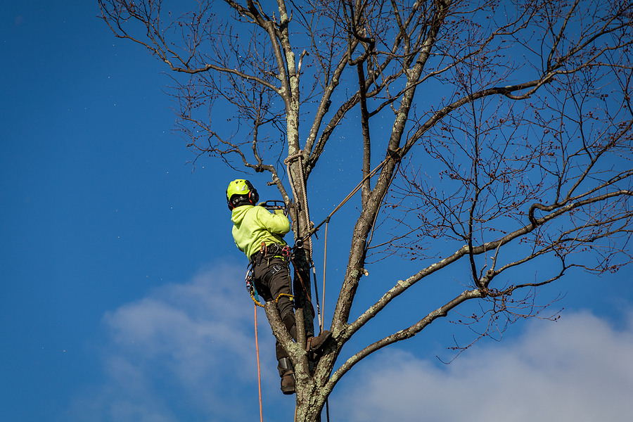 Arborist while trimming a tree